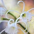 Spider Lily 3 by Heidi Smith