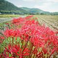 Spider Lily by Yoshika Sakai