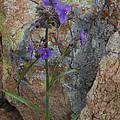 Spiderwort by Susan Rovira