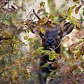 Spike Elk In Brush by Michael Dougherty