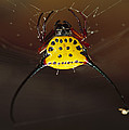 Spiked Spider Gasteracantha Sp In Web by Cyril Ruoso
