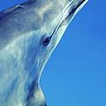 Spinner Dolphin by Alexis Rosenfeld