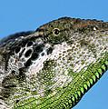 Spiny Chameleon Chamaeleo Verrucosus by Ingo Arndt
