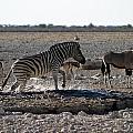 Splashing Zebra Namibia by David Kleinsasser