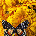 Spotted Butterfly On Yellow Mums by Garry Gay