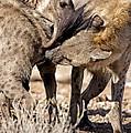 Spotted Hyena Greeting Ritual by Tony Camacho