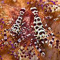 Spotted Periclimenes Colemani Shrimp by Mathieu Meur