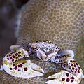 Spotted Porcelain Crab Feeding by Steve Jones