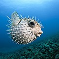 Spotted Porcupinefish by Dave Fleetham