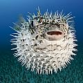 Spotted Porcupinefish IIi by Dave Fleetham