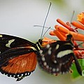 Spotted Tiger Glassywing by Paulina Roybal