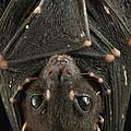 Spotted-winged Fruit Bat Balionycteris by Ch'ien Lee