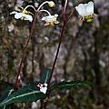Spotted Wintergreen Plants by Douglas Barnett