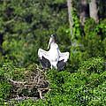 Spread Stork by Al Powell Photography USA