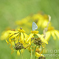 Spring Azure And Friend by Donna Brown