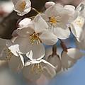 Spring Blooming Yoshino Cherry Tree by Kathy Clark