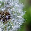 Spring Dandelion by Pam Fong