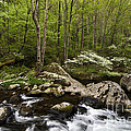 Spring Dogwoods On The Little River - D003829 by Daniel Dempster