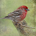 Spring Finch by Debbie Portwood