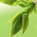 Spring Green Leaves by Elena Elisseeva