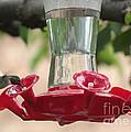 Spring Hummingbird At Feeder by Carol Groenen