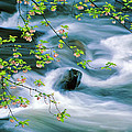 Spring Middle Prong Little River by Chuck Wickham