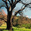 Spring Oak by Kathy Yates