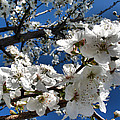 Spring Pear Blossoms 2012 by Joyce Dickens