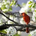 Spring Bradford Pear Blossoms by Nava Thompson