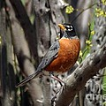 Spring Robin by Living Color Photography Lorraine Lynch