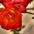 Spring Rose by Barry Jones
