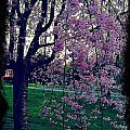 Spring Tree by Heather Burbridge