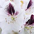 Spring White by Jacky Parker
