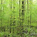 Spring Woods by Ronald Grogan
