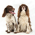 Springer Spaniels by Mark Taylor