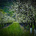 Springtime In The Orchard II by Bill Gallagher