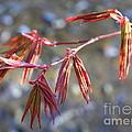 Springtime Japanese Maple Leaves by Carol Groenen