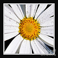 Square Daisy - Close Up 2 by Kaye Menner