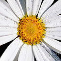 Square Daisy - Close Up by Kaye Menner