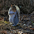 Squirrel At Base Of Tree - C2074b by Paul Lyndon Phillips