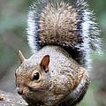 Squirrel by Carol Groenen
