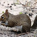 Squirrel Eating Nuts by Jeanne Andrews