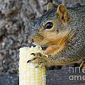 Squirrel Holding Corn by Lori Tordsen