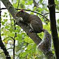 Squirrel I by Joe Faherty