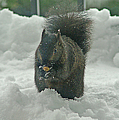 Squirrel In The Snow by Randy Harris