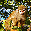 Squirrel Monkey by Methune Hively