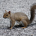 Squirrel On A Road by Carrie Munoz