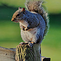 Squirrel Posing On Fence Post Posing - C9243c by Paul Lyndon Phillips