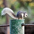 Squirrel by Vudhikrai Sovannakran