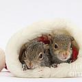 Squirrels In Santa Hat by Mark Taylor